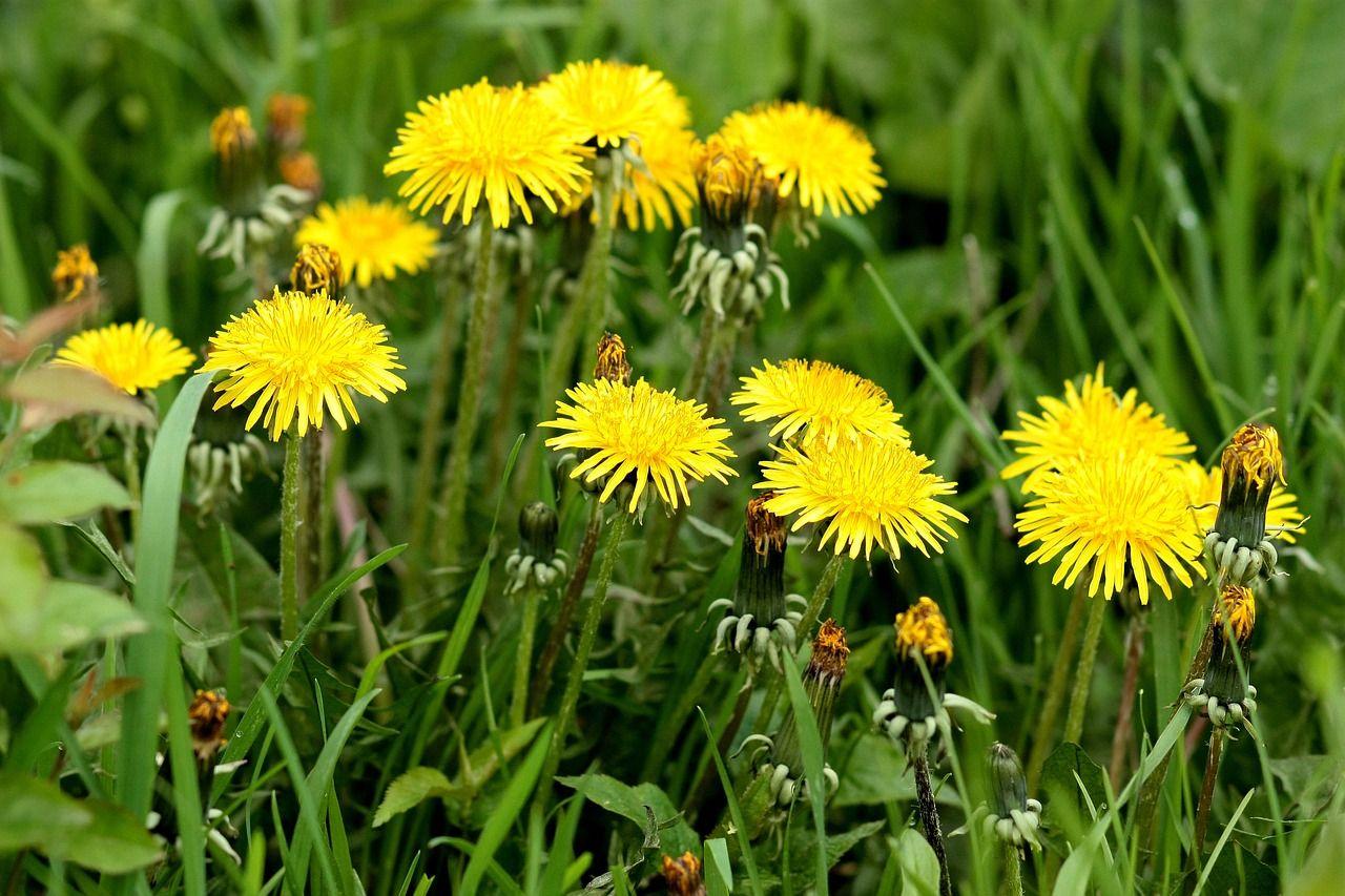 Free Image On Pixabay Dandelion Yellow Flower Plants Plants Peppermint Plants Herbs