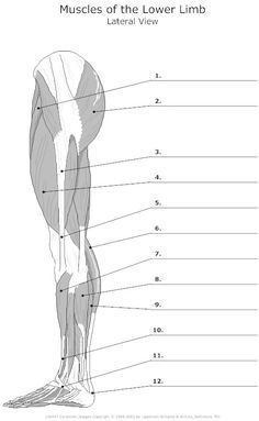label the muscles of the body Muscle anatomy, Muscular
