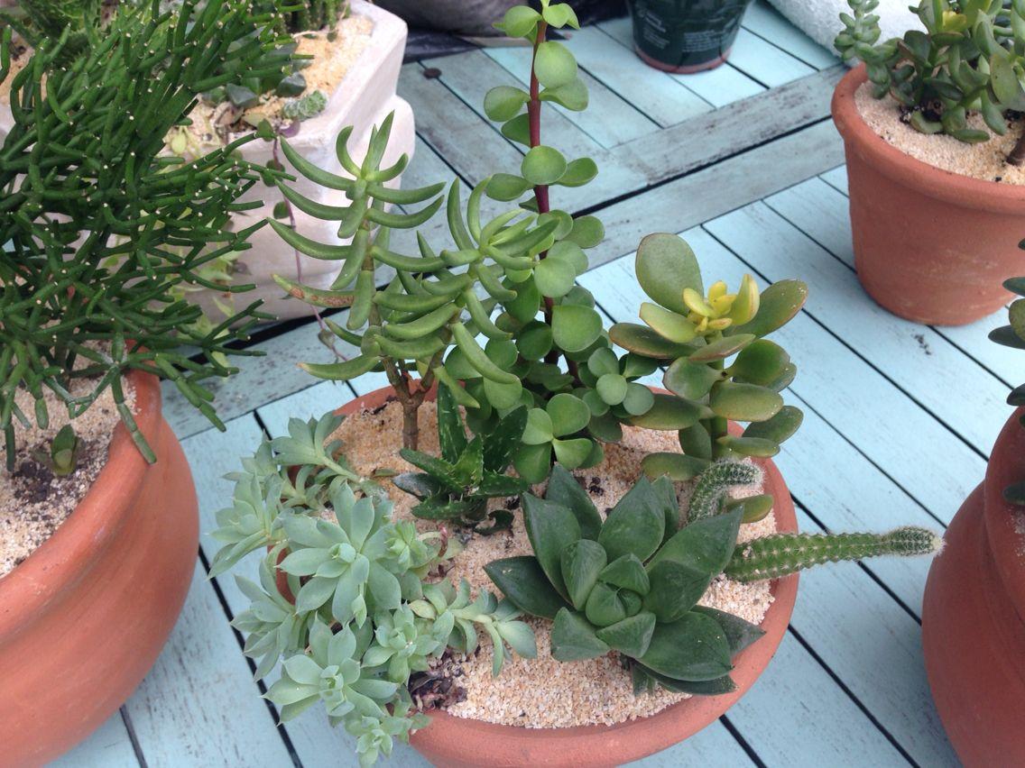 Clay pot succulents