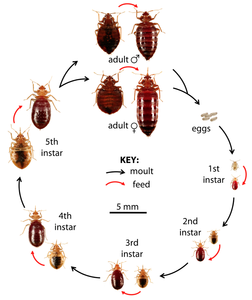 What Do Bed bugs Look Like? Rid of bed bugs, Bed bugs