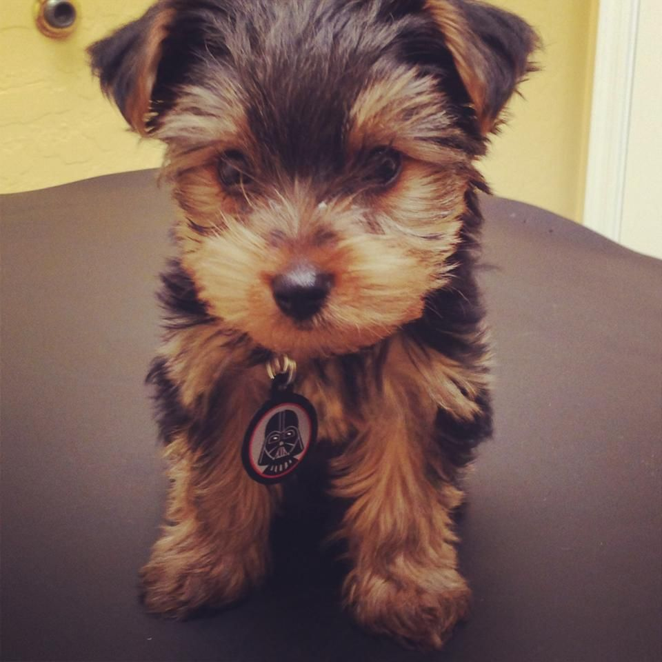 Pin by Brittney Gray on Paw Factor Small Dogs Cute