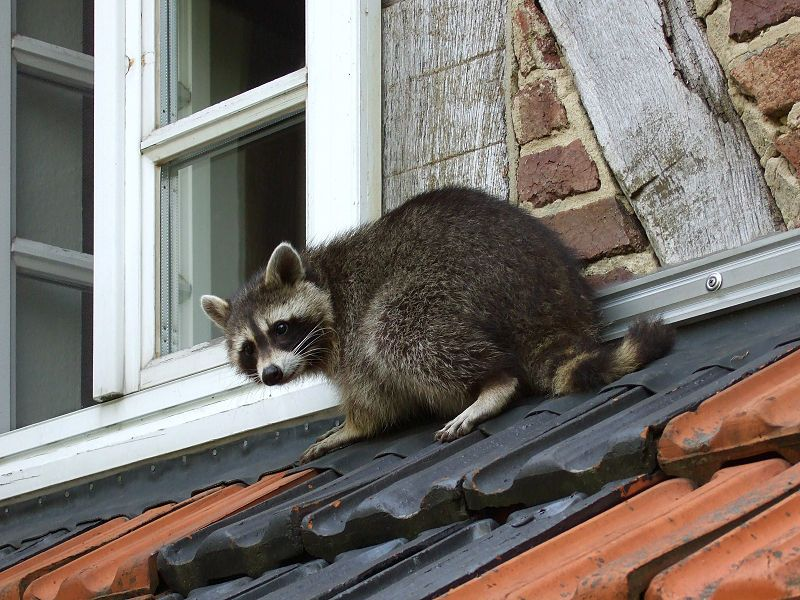 Raccoons In Your Attic Writing About Everything Under The Sun Handcrafts And Handyman Getting Rid Of Raccoons Raccoon Repellent Raccoon