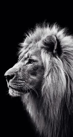 image result for lion black and white calm lion art pinterest