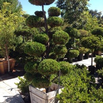 Photo Of La Crescenta Nursery Glendale Ca United States This Tree Is Amazing Prices At 850 I Believe