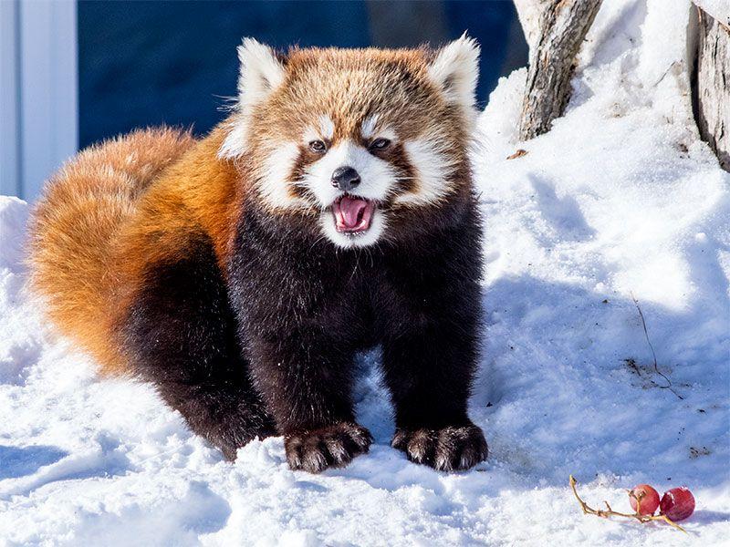 円山動物園 ホクト  Red pandas レッサーパンダ 小熊猫