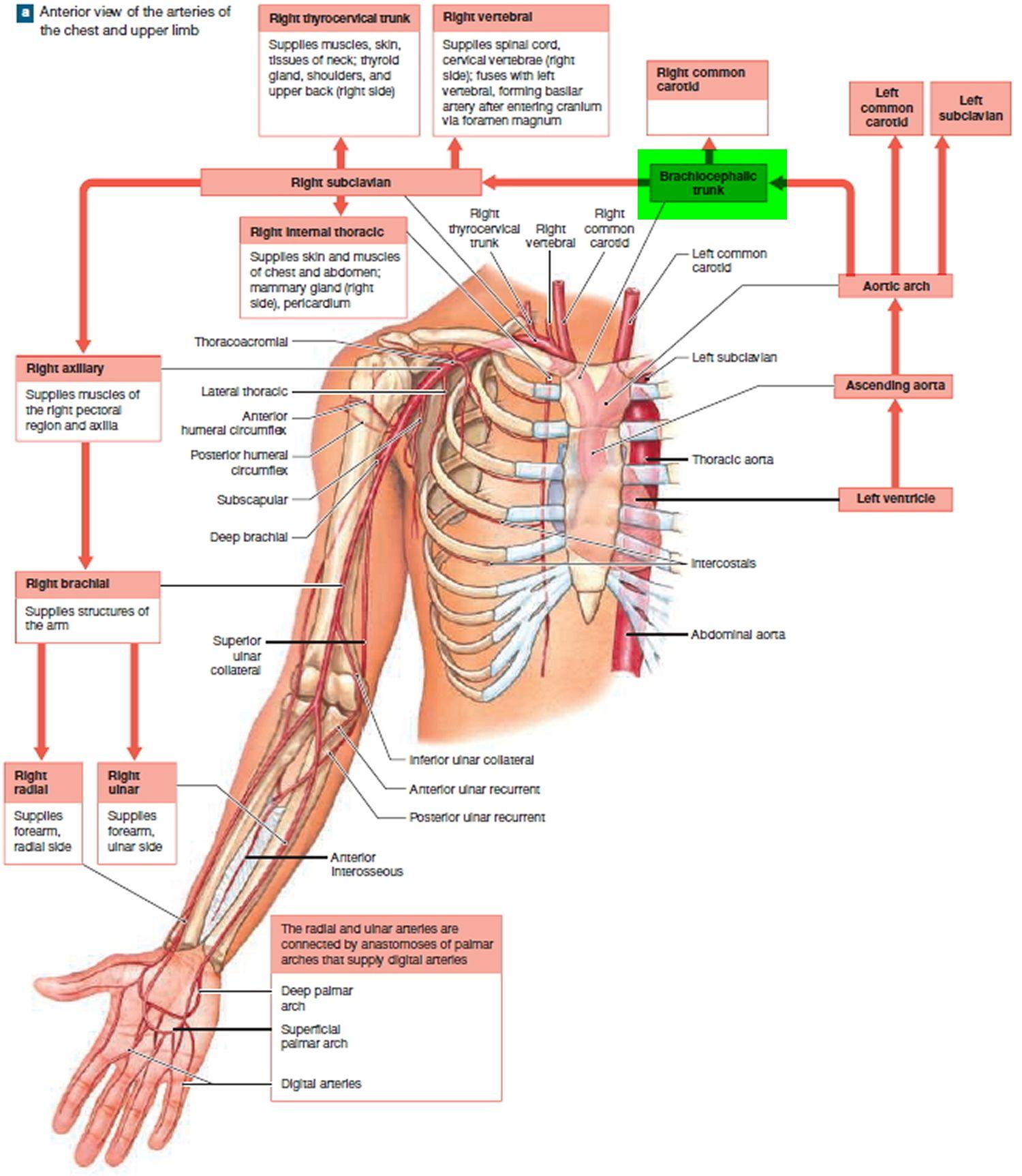 branches of the brachiocephalic artery