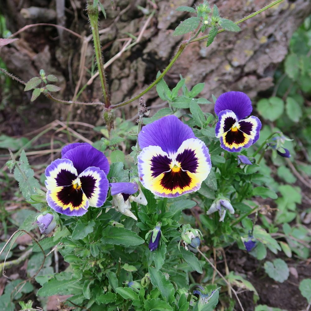 pansies, flowering perennial nearly all year in the
