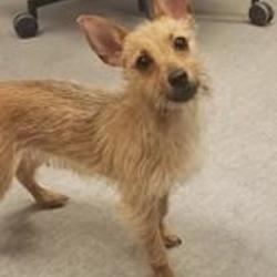 Kokomo Indiana Yorkie Yorkshire Terrier Meet Veda A For
