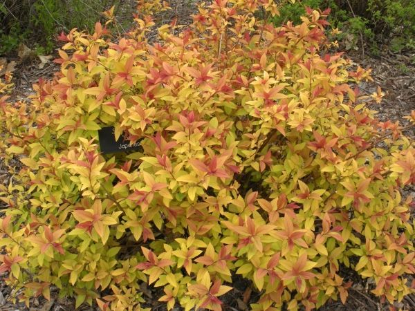 Red And Gold Leaf Shrub Recherche Google Low Growing