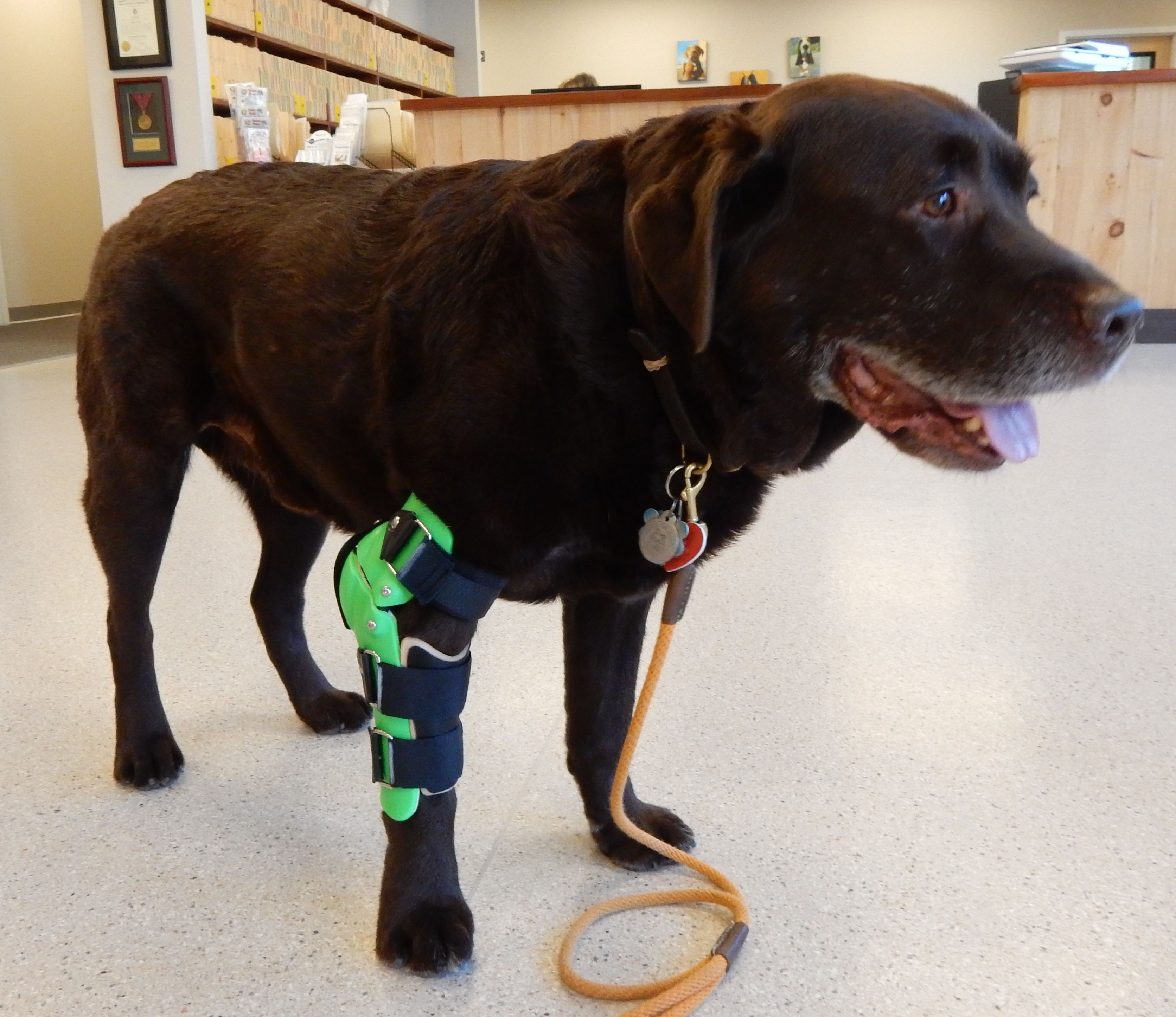 Elbow braces help dogs who suffer from arthritis  | Elbow