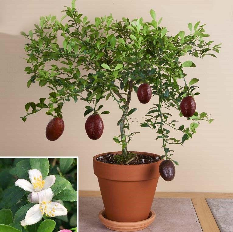 Red Finger Lime Citrus Australasica Sanguinea Tropical Fruiting Plants Fruits Fertilizer For Plants Plants Bonsai Plants