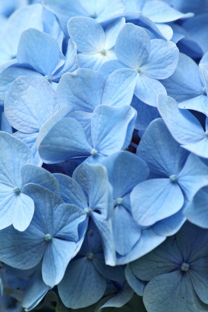 Blue Hydrangea Hydrangea Flower Blue Hydrangea Flowers Hydrangea Macrophylla
