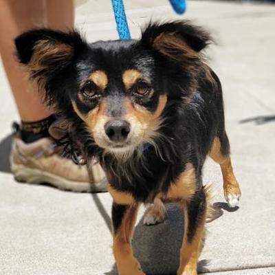 San Francisco Ca Chihuahua Meet Scratch A Dog For Adoption