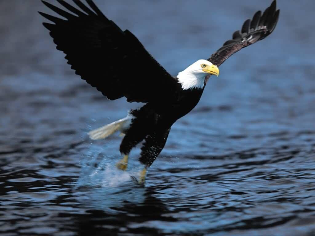Águila calva - Gotcha.   mis primeros vuelos aves   Pinterest ...