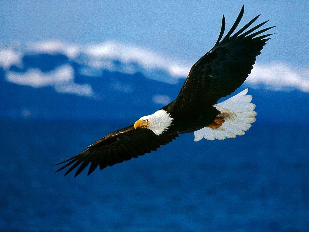 Eagle Wallpaper High Resolution Eagle Images Bald Eagle