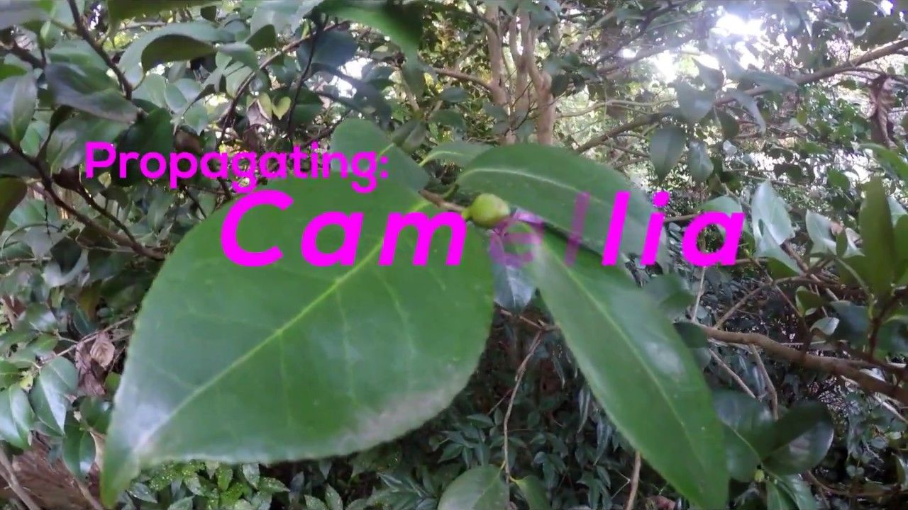 How To Propagate Camellia By Cuttings Pink Camellia Sasanqua Propagation Camellia Outdoor Flowers