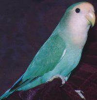 Peachfaced Lovebird: Dutch Blue