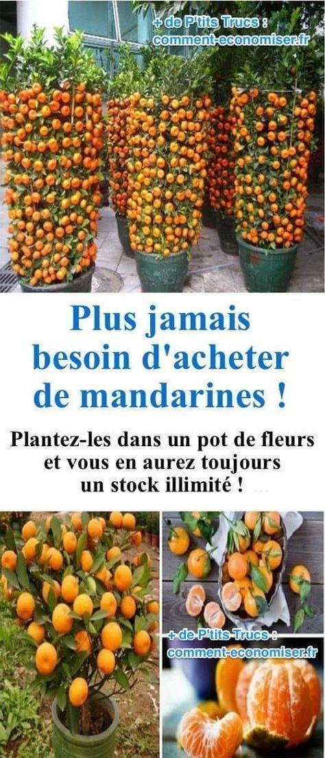 Plus jamais besoin d'acheter de mandarines, il suffit de les planter dans des pots de fleurs #jardines