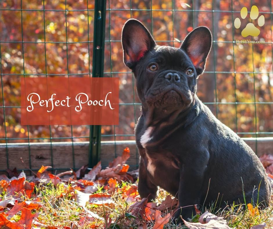 Blue French Bulldog Puppy Bulldogspuppies Cute Dogs French