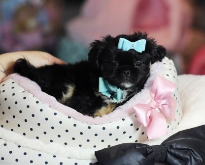 3 3 3 Duffy The Imperial Shih Tzu Pekingese Available Now 3 3 3 954 353 7864 Www Teacuppuppiesstore Com Shihtzu Teacup Puppies Puppy Store Morkie Puppies