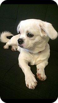 Manhattan Ks Pekingese Rat Terrier Mix Meet Tilly A Puppy For