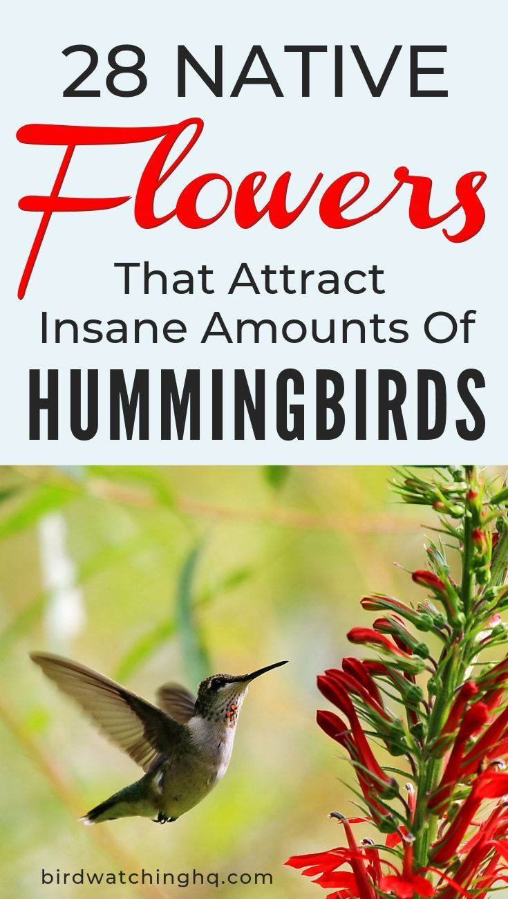 28 Common Flowers That Attract Hummingbirds (Native, Easy To Grow) is part of Flowers that attract hummingbirds, How to attract hummingbirds, Hummingbird plants, Planting flowers, Pollinator garden, Hummingbird garden - Forget messy nectar feeders! Use these flowers that attract hummingbirds to create an amazing hummingbird habitat in your backyard  NATIVE and EASY TO GROW!