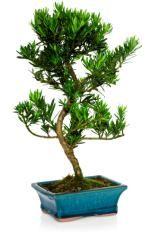Are Bonsai Tree Plants Bad Feng Shui Feng Shui Tips Bonsai