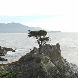 The Lone Cypress 17 Mile Drive Yelp Reviews