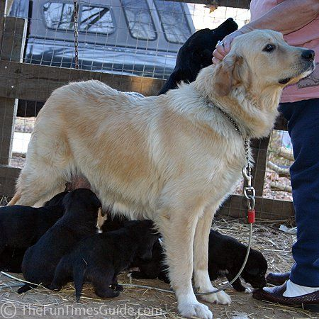 Golden retriever and great pyrenees mix puppies