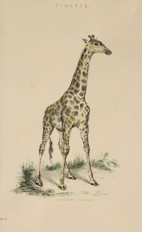 1880 HANDCOLOURED Antique Giraffe Print - Unique Victorian Colour ...