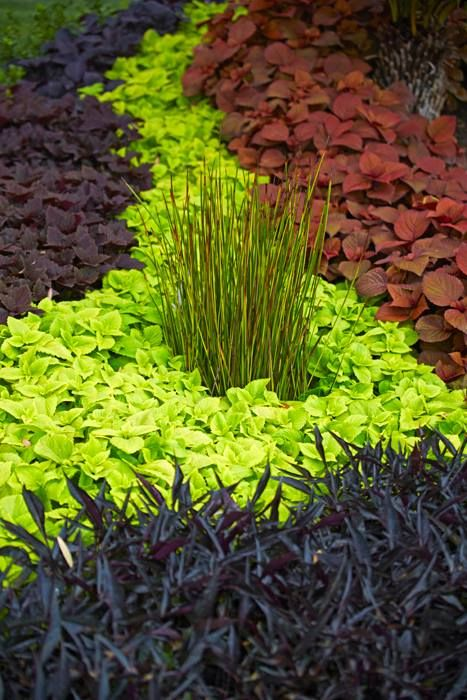 """DIY Create a foliage river. Easy to create using ProvenWinners plants. Try using  t Illusion MidnightLace (SweetPotatoVine)  and with different varieties of Colues.  ProvenWinners  Colorblaze series offers """"Keystone Kopper'  pictured right; 'Lifelime' coleus is the bright chartreuse color running down the middle and the coleus in the back left side is 'Dark Star'  These plants  offer unique texture and all summer performance in the landscape"""