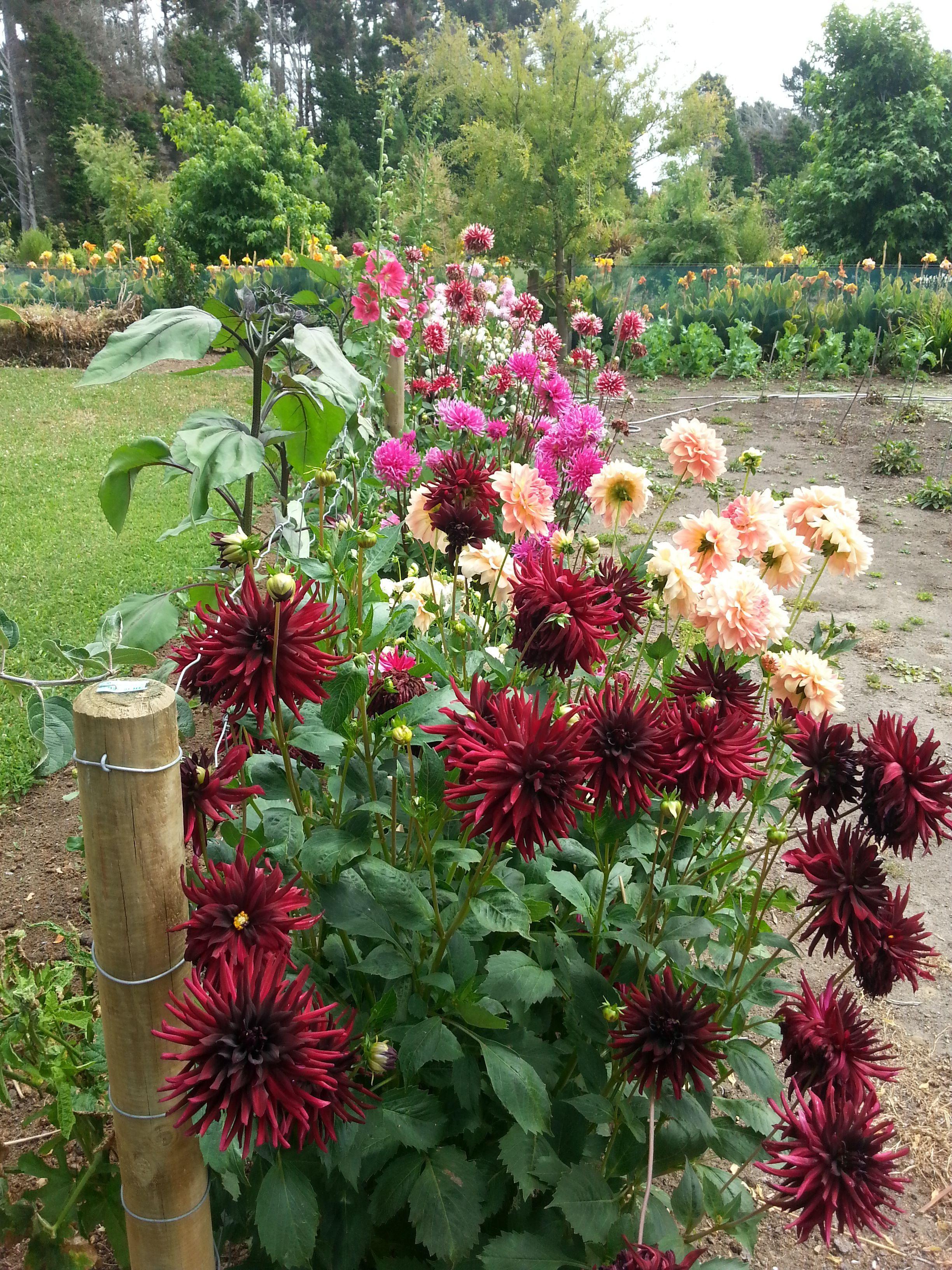 Summer Dahlias Cottage Garden Plants Dahlias Garden Dream Garden