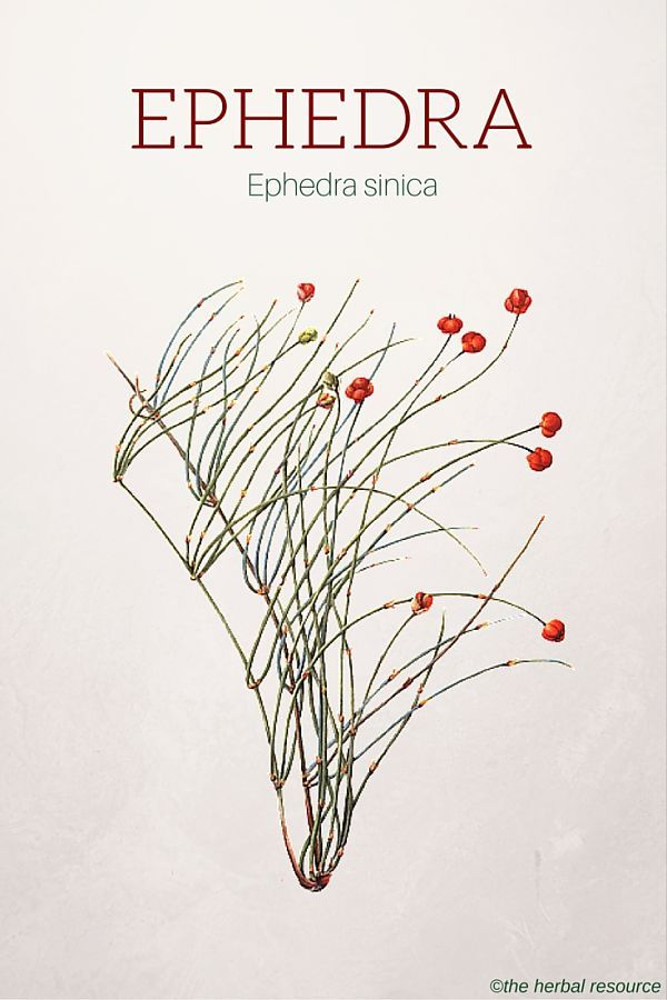 Ephedra – Health Benefits and Side Effects   Herbs