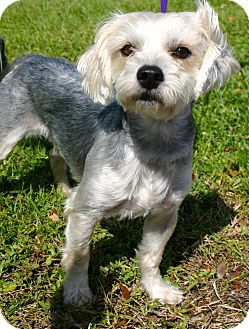 Ft Myers Beach Fl Maltese Yorkie Yorkshire Terrier Mix Meet King Louie A Dog For Adoption Http Www Adoptapet Com Pet Dog Adoption Pet Adoption Dogs
