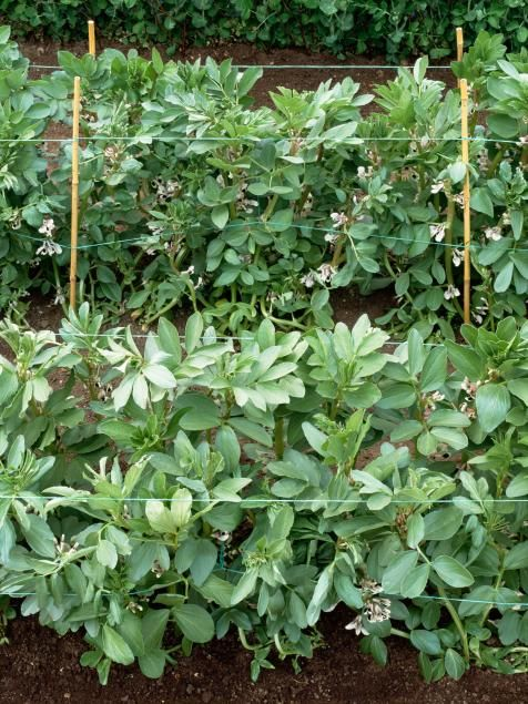 Supporting Fava Broad Beans Fava Beans Can Grow Up To 4 400 x 300