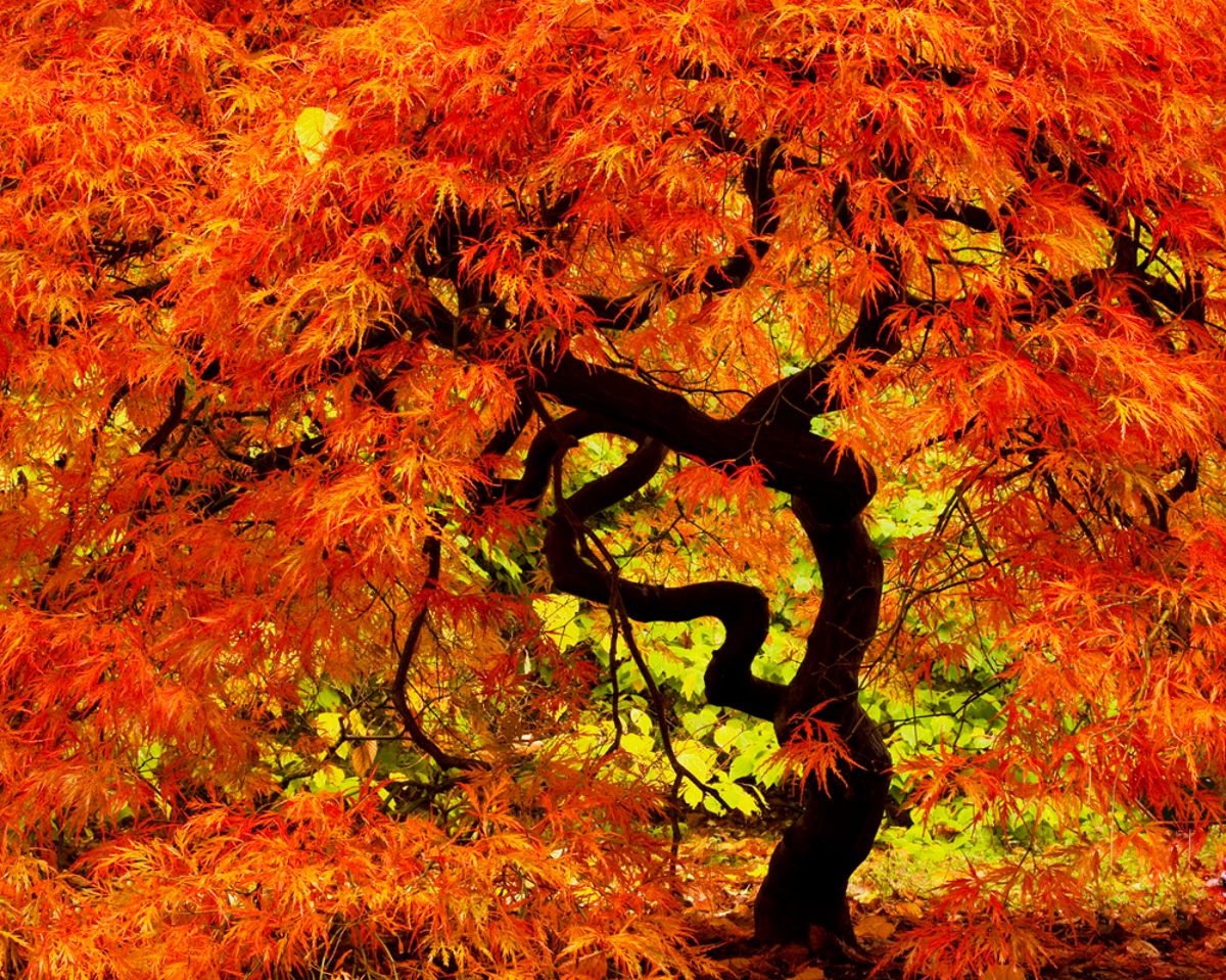 Japanischer Ahorn Wallpaper Japanese Maple Trees Autumn Hd Wallpaper Desktopicts