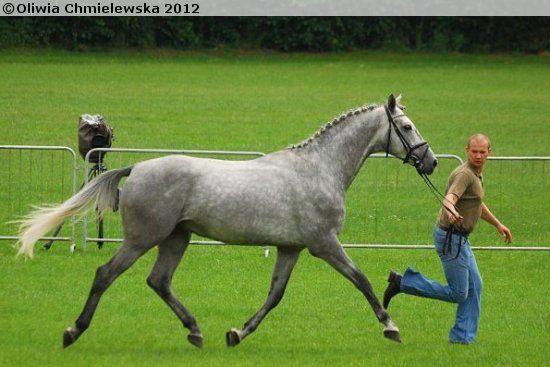 Małopolski stallion Dżihad