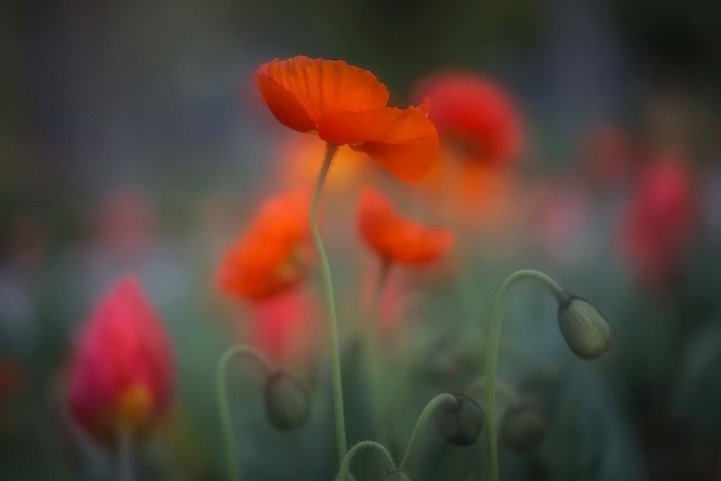 Orange poppy flower field close up blur plants wallpaper desktop wallpaper orange poppy flower field close up blur plants hd image picture background xinqqs mightylinksfo Image collections