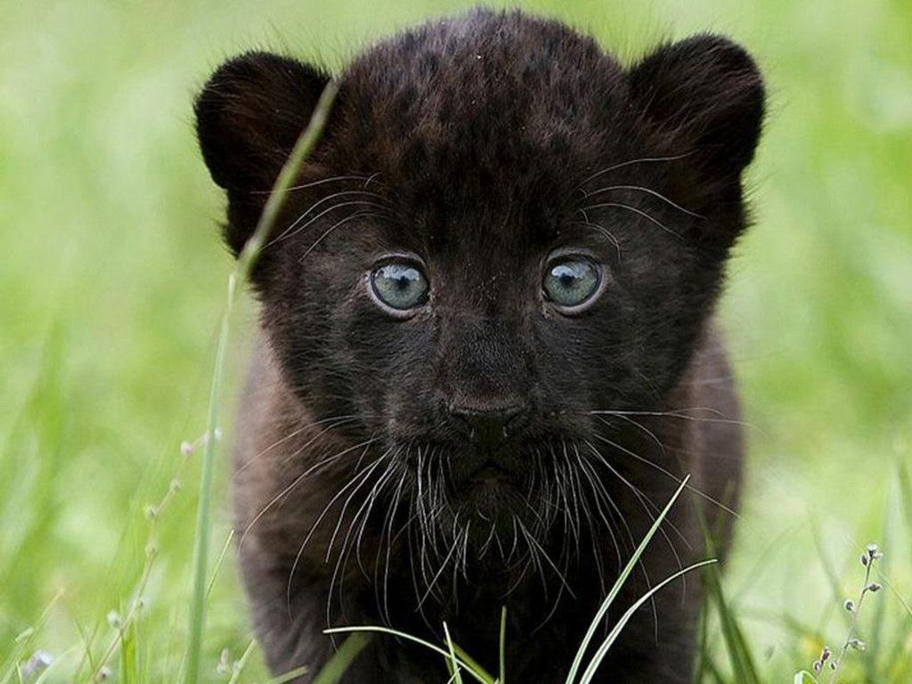 Baby Panther Cute Animals Cuddly Animals Baby Panther