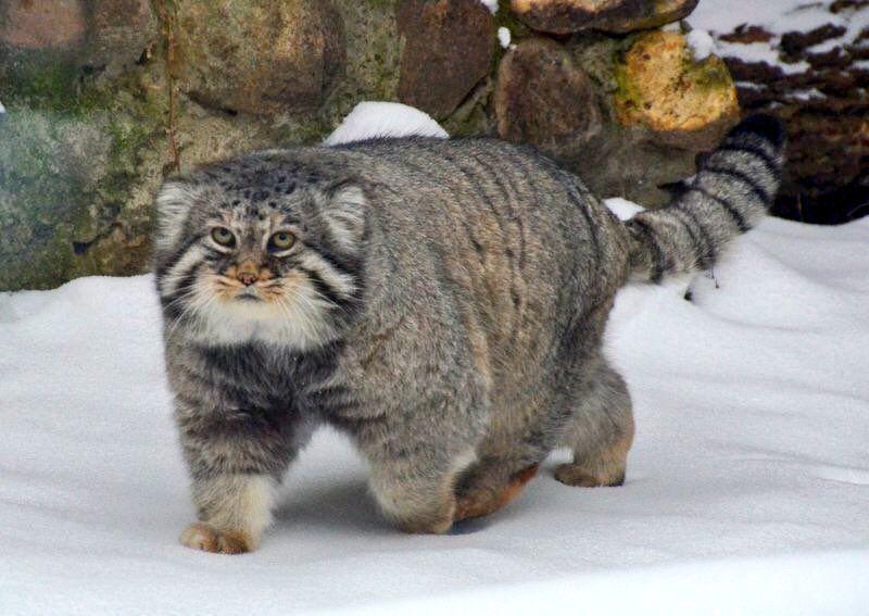 Pallas Cat Pallas S Cat Manul Cat Rare Animals