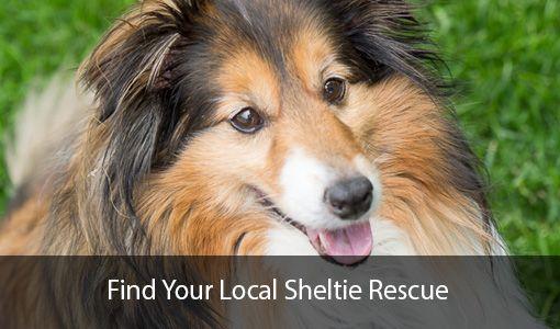 Find Your Local Sheltie Rescue sheltiedom Pinterest