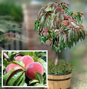 Wonderful U0027Bonfireu0027 Dwarf Peach Tree. This Is The Kind Of Peach Tree I Just