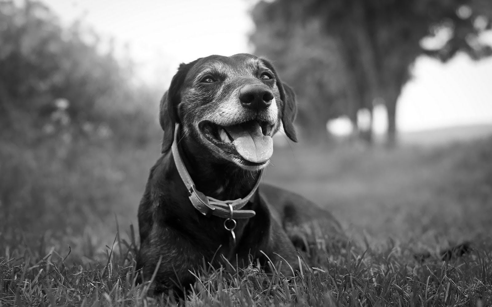 Dogs Wallpaper image detail for - black and white wallpaper with a dog | hd