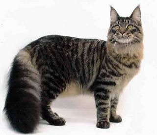 American Shorthair Cat Harga Cat And Dog Lovers