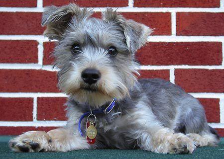 Schnauzer x yorkshire terrier for sale