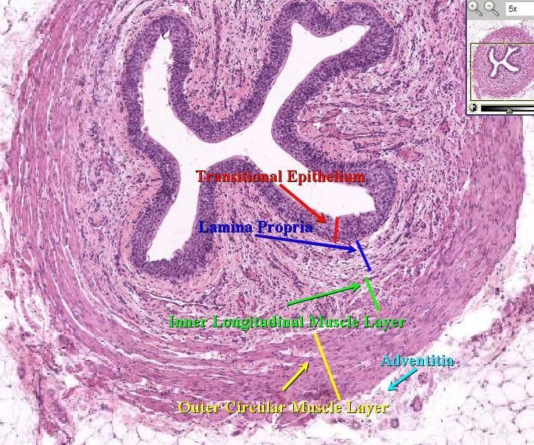 Urinary Bladder Histology Cross Section Urethra | Because ...
