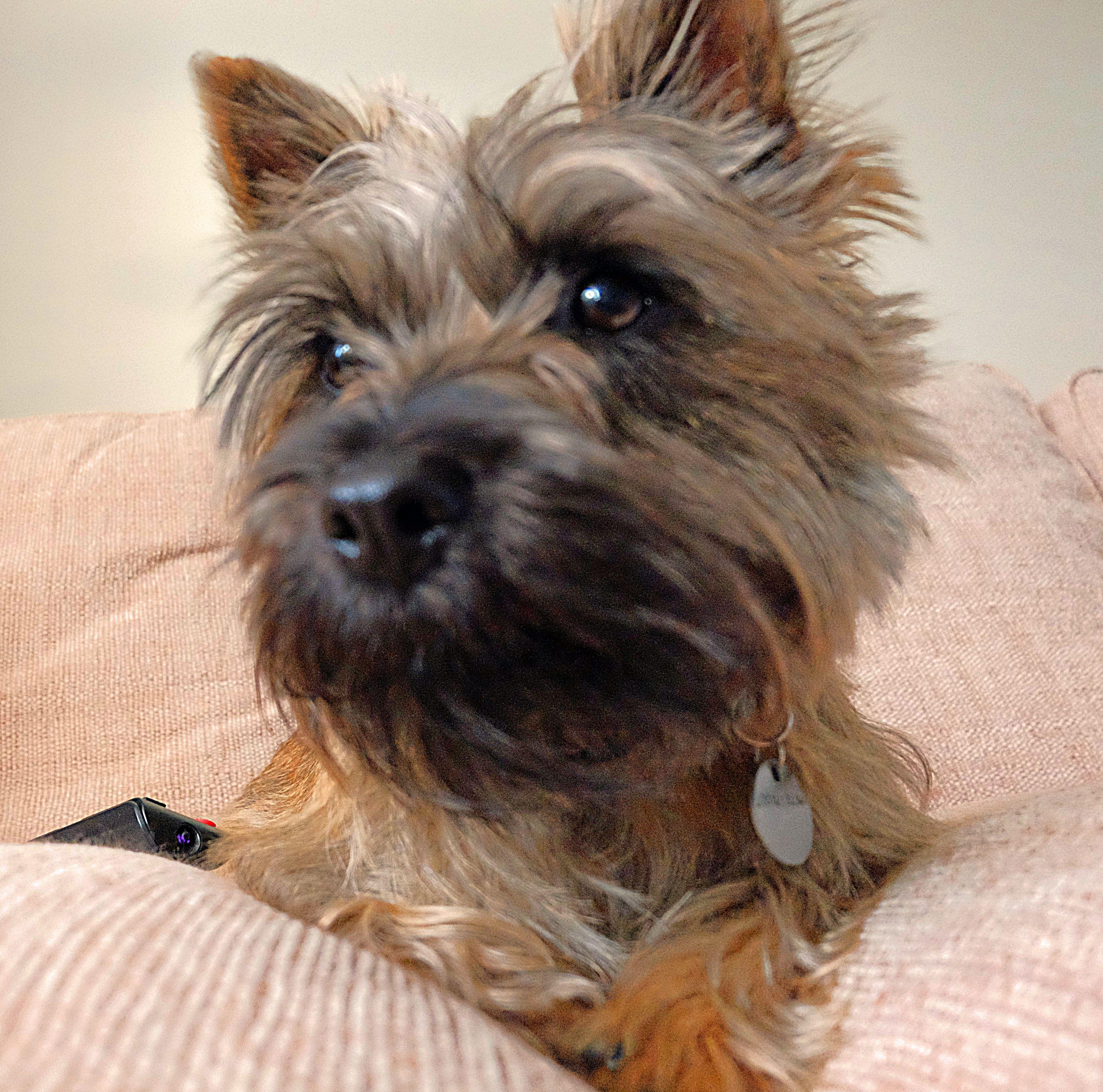 Pin By Ellen Shaw On Boo Cairn Terrier Terrier Cute Puppies