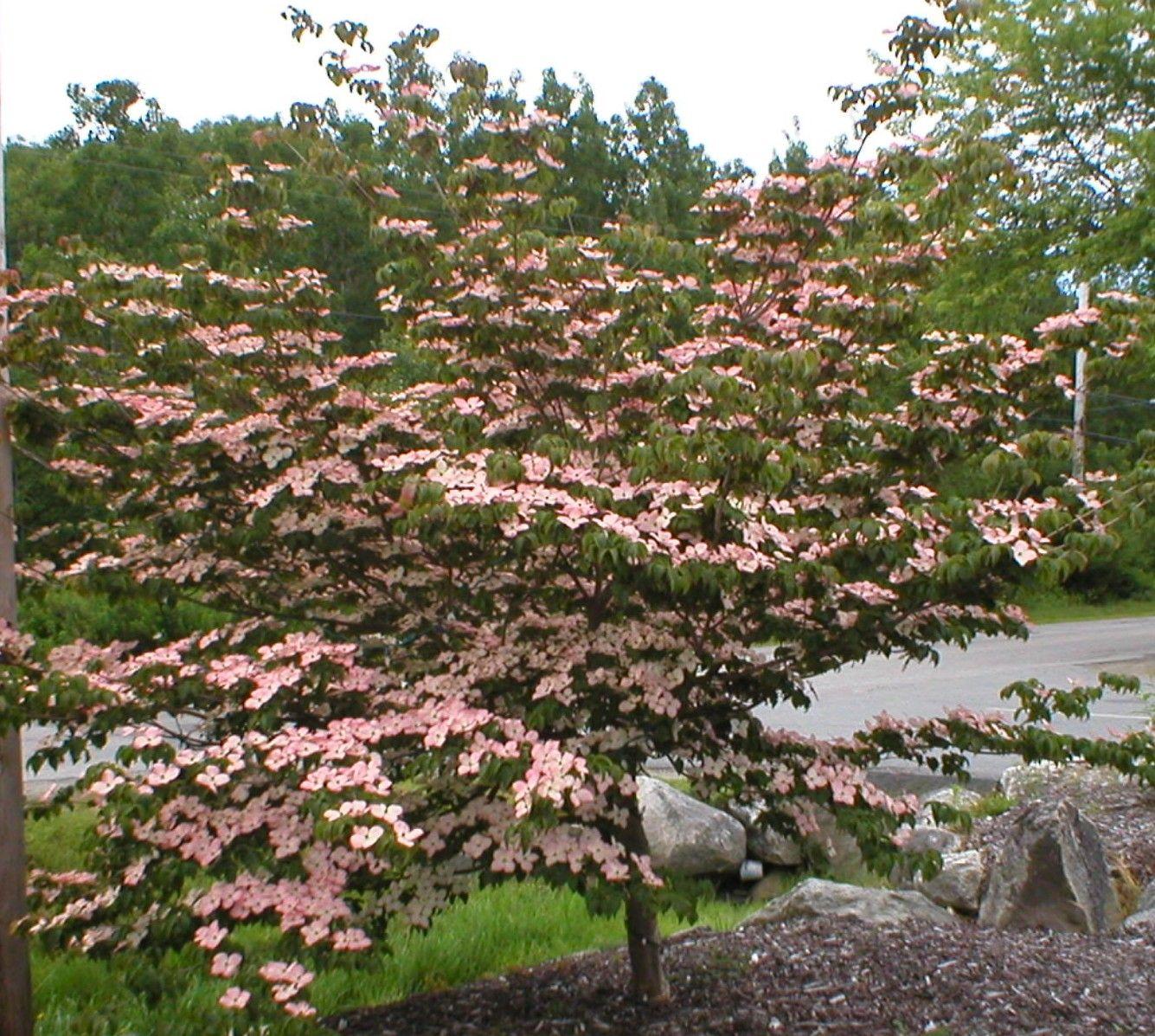 Pink dogwood leaves