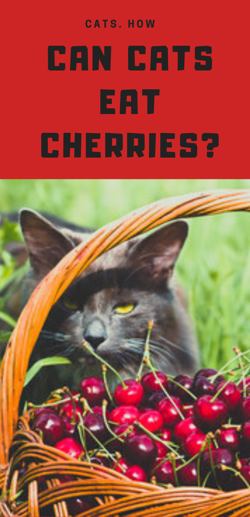 Can Cats Eat Cherries Cats, Purebred cats, Buy a kitten