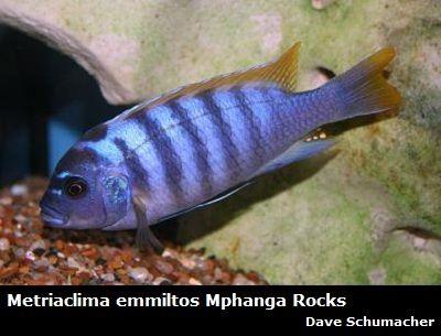 Red Top Zebra Mbuna African Cichlid Cichlids African Cichlids Fish For Sale